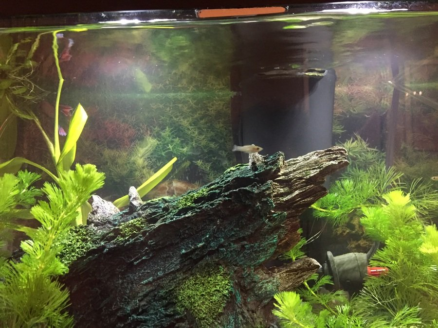 Cloudy water my aquarium club for Why is my fish tank water cloudy