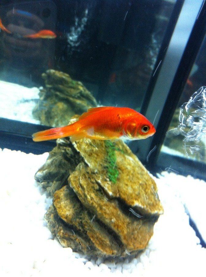 Gold fish has darkened in colour won 39 t move from bottom for Split fish tank
