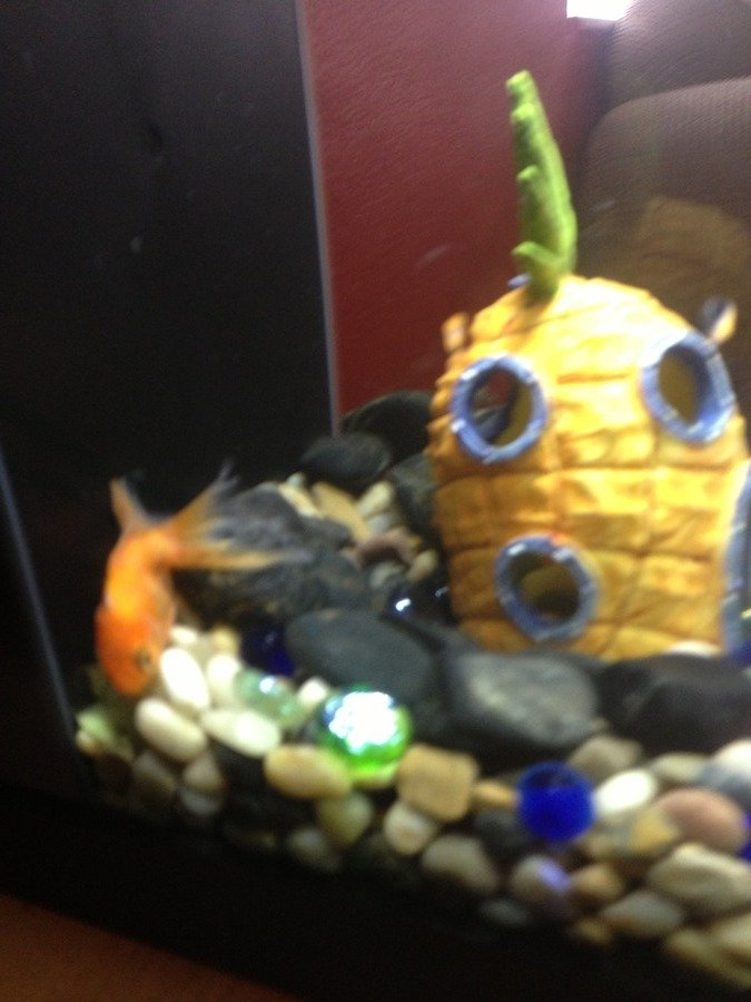 Goldfish sitting on bottom of tank