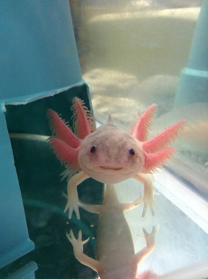 Basic care for axolotls my aquarium club for How much does a fish cost