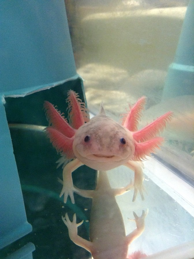 Basic care for axolotls my aquarium club for How much do fish cost