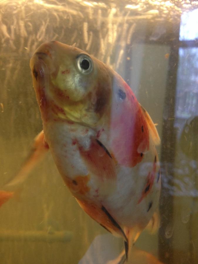 High nitrite nitrate and hard water help my big huge for High nitrite in fish tank