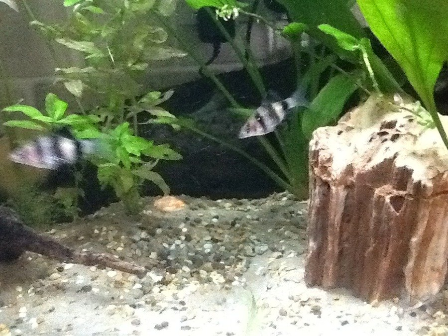 The Older My Tiger Barbs Get, The Less They Look Like Tiger Barbs ...