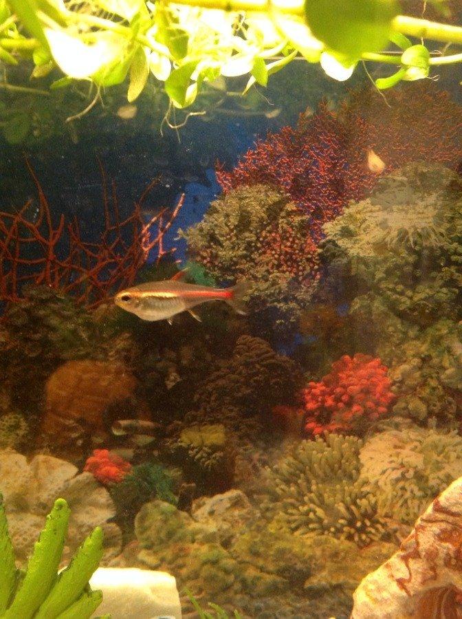 Glow Light Tetra | My Aquarium Club