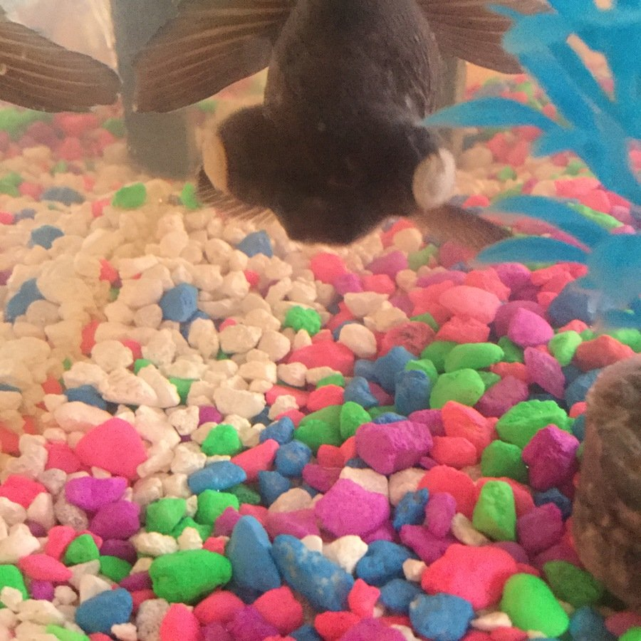 Freshwater fish cloudy eyes - Black Moor Fish With 2 Cloudy Eyes And New Tank