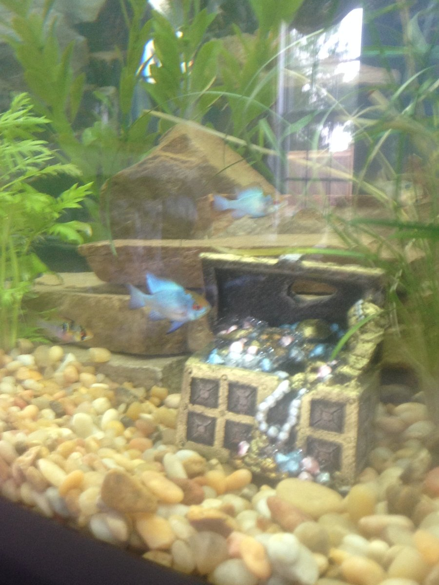 Some Pics Of Electric Blue And Baby German Blue Rams My