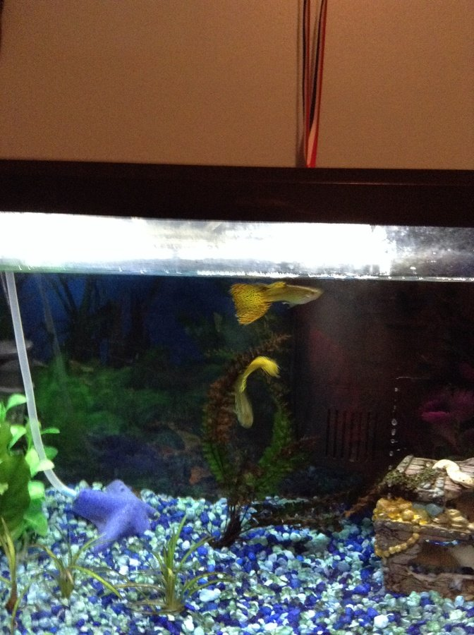 New fish for 10 gallon freshwater tank my aquarium club for Good fish for 10 gallon tank
