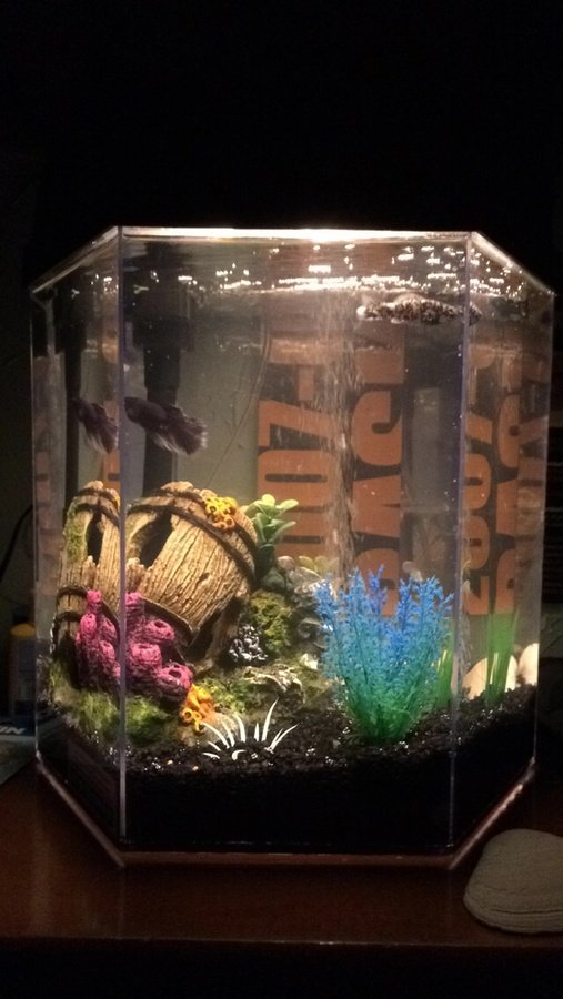 Is a dalmatian molly and a betta fish fine to live for 5 gallon betta fish tank