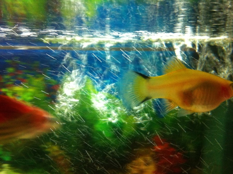 how to tell if platy is pregnant