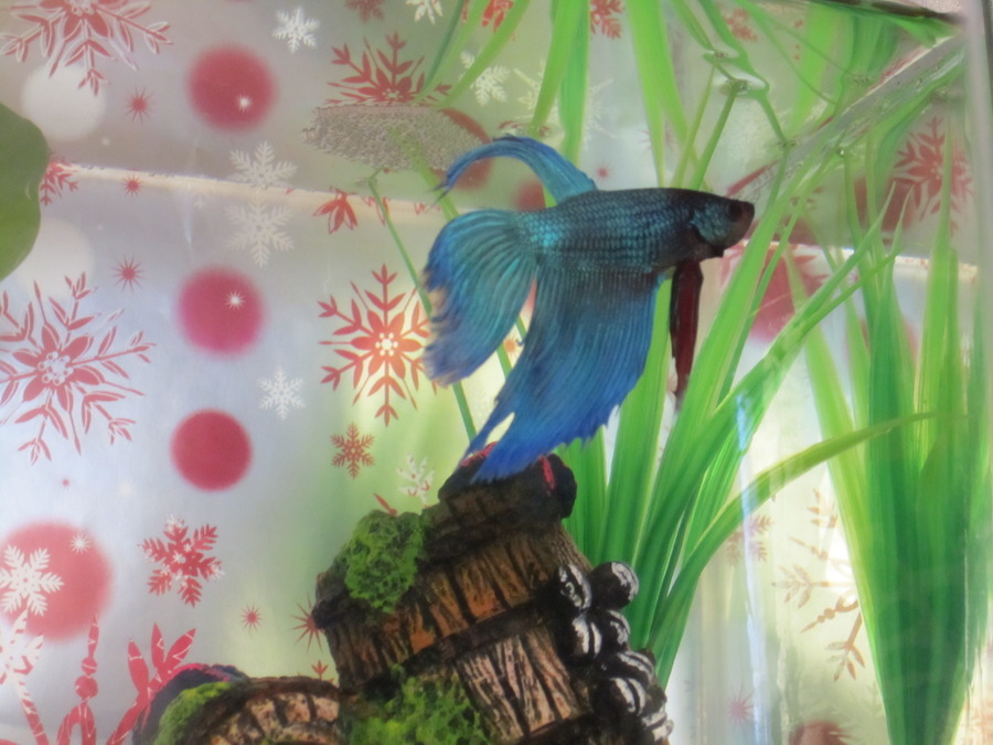 Betta fish cloudy water smelly and filmy my aquarium club for Betta fish water change