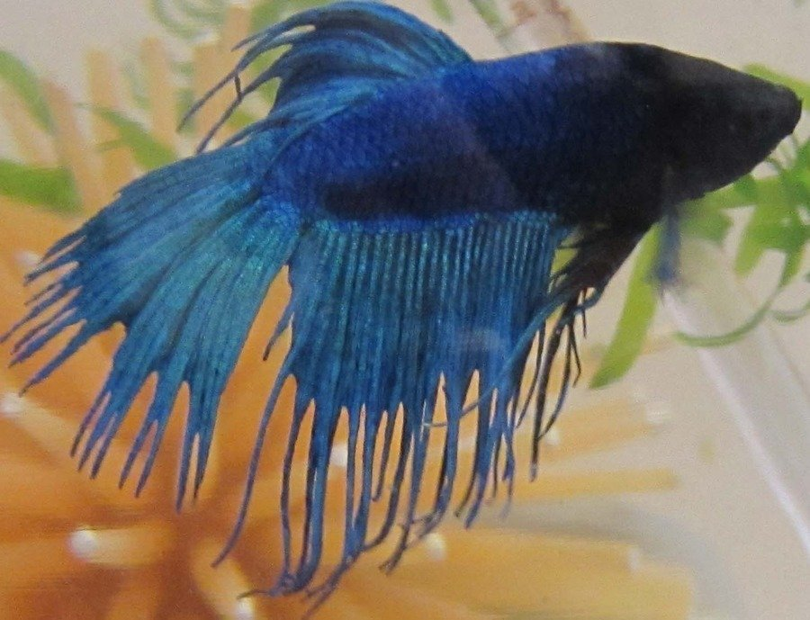 Medicine or water change for betta with fin rot my for Betta fish medicine
