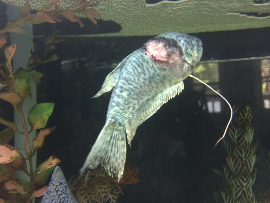 Help blue gourami very ill my aquarium club for Aba aba knife fish