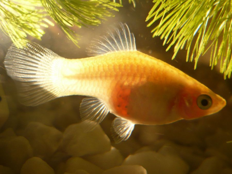 Pregnancy in female livebearing fish my aquarium club for How long is a guppy fish pregnant