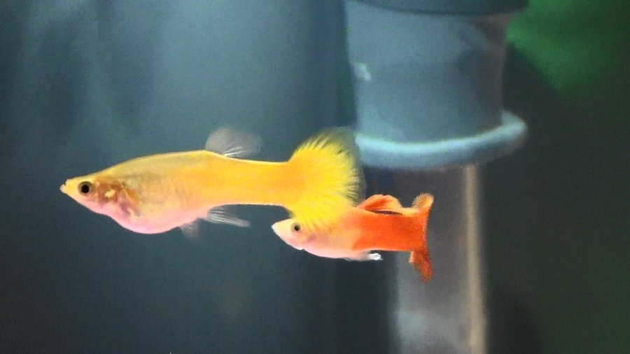 Guppy care my aquarium club for Easiest fish to care for