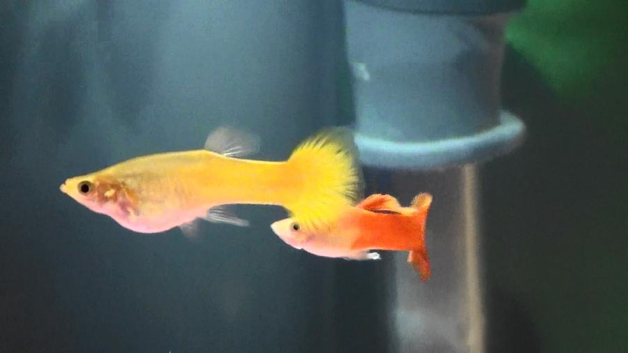 Guppy care my aquarium club for Guppy fish care