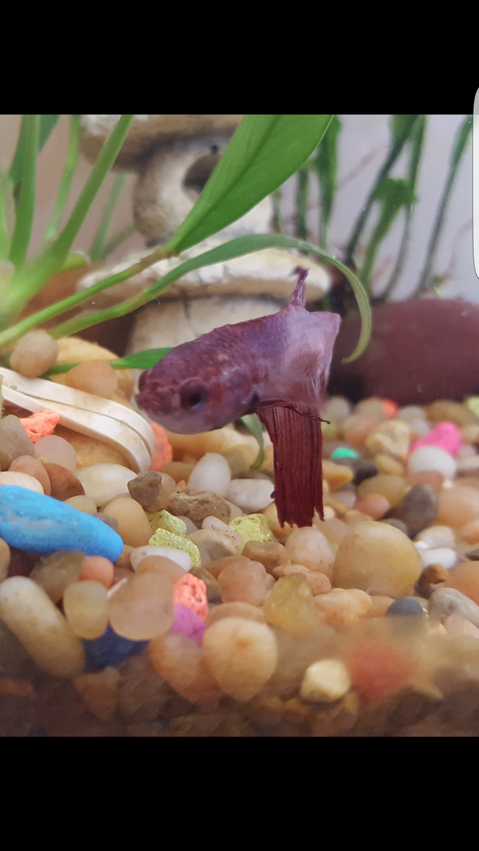 Freshwater aquarium fish internal parasites - Internal Parasites My Aquarium Club