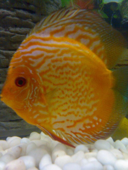 This is my red map discus fish my aquarium club for Discus fish for sale near me