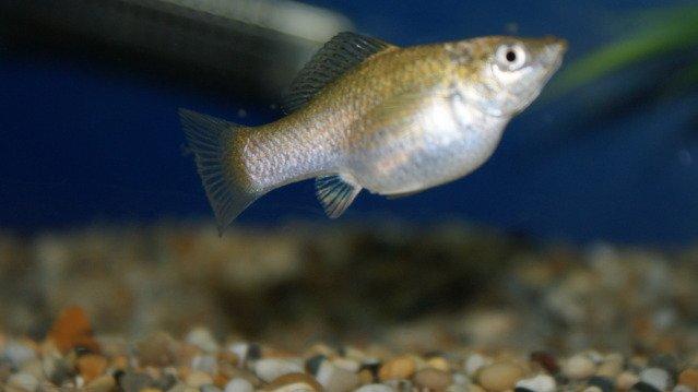 An In Depth Look At Molly Fish My Aquarium Club