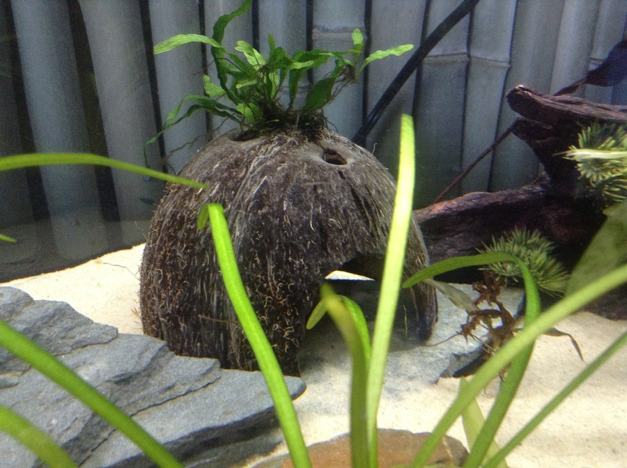 How To Make Your Own Coconut Cave My Aquarium Club