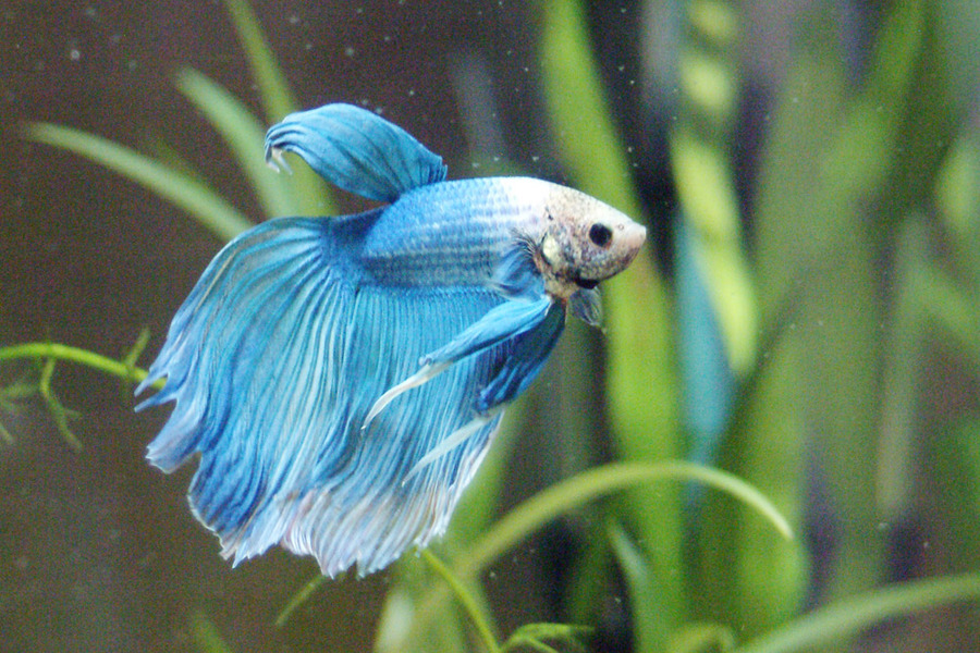 Betta fish knowledge tank requirements and behavior first for Can you put betta fish with other fish