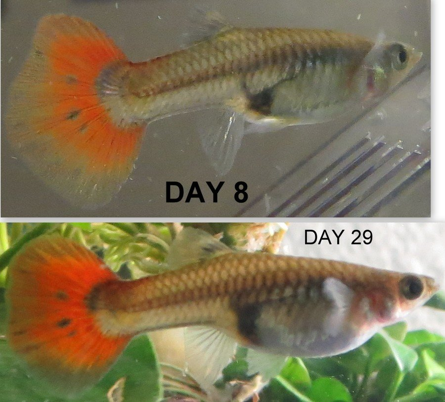 guppy pregnancy photo progression when is my guppy due