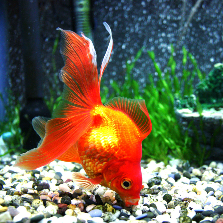 Types Of Goldfish - The Goldie Identification Guide   My Aquarium Club