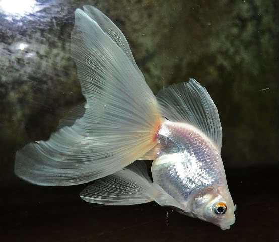 Types Of Goldfish - The Goldie Identification Guide   My ...