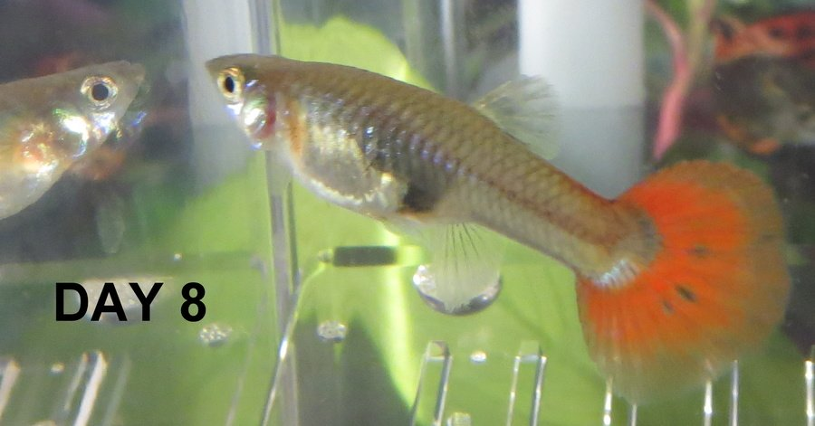 Guppy pregnancy photo progression when is my guppy due for Fish during pregnancy
