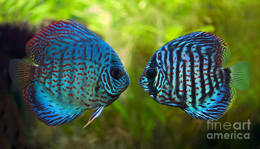 Discus breeding 101 my aquarium club for Best place to buy discus fish
