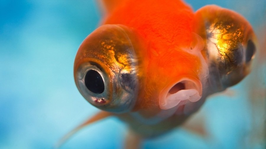 Baby Goldfish: Oh So Cute! How To Breed Goldies | My ...