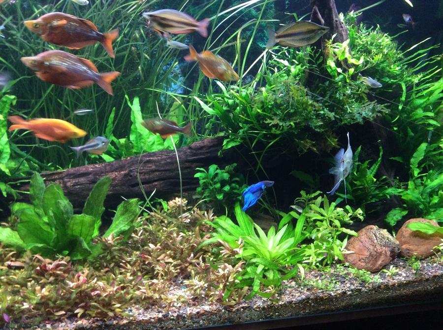 Male betta in community tank my aquarium club for Well water for fish tank