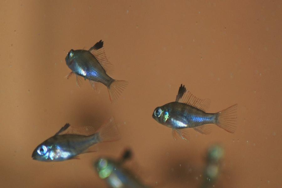 Growth And Development Of Bolivian Ram Fry My Aquarium Club