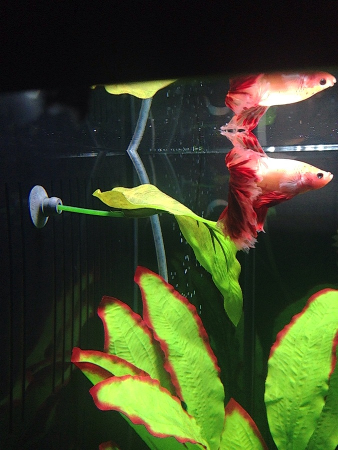 the end result is a betta palace fit for the new residents  after a flight from thailand they deserve it   the betta tank   my aquarium club  rh   myaquariumclub