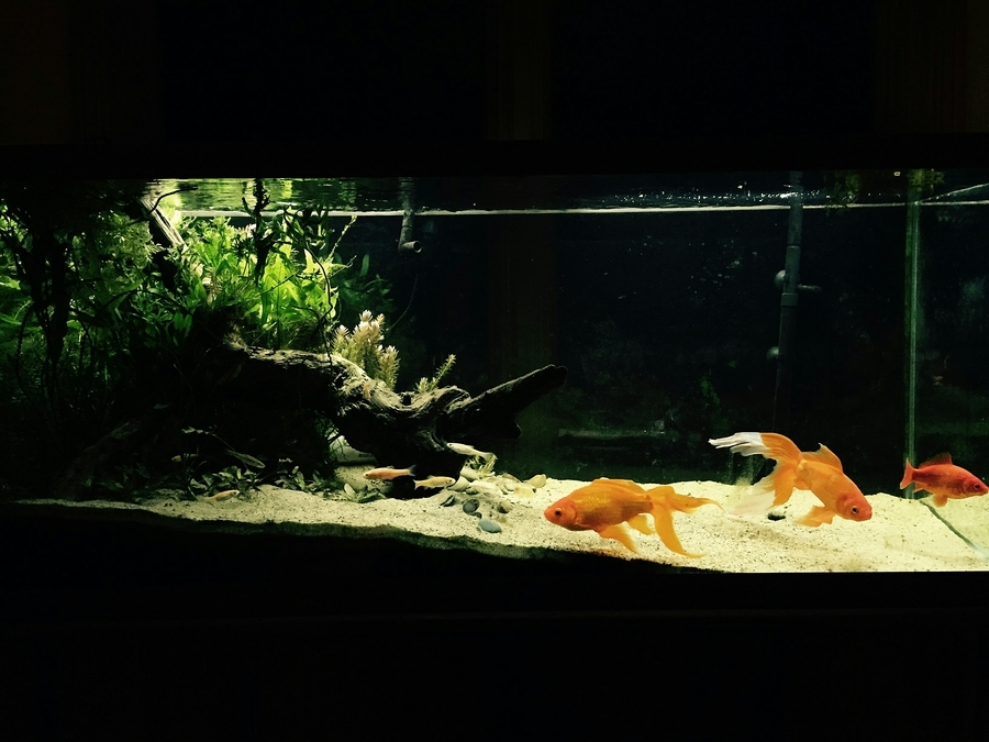 Keeping a planted goldfish tank which live plants work for What fish can live with goldfish