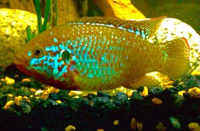 All About Jewel Cichlids My Aquarium Club