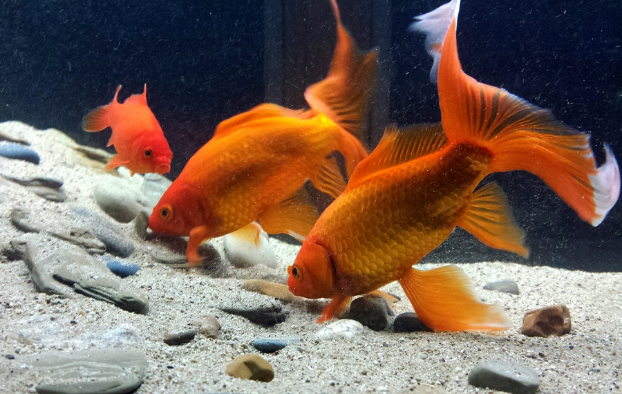 Goldfish and substrate my aquarium club for Fish tank for goldfish