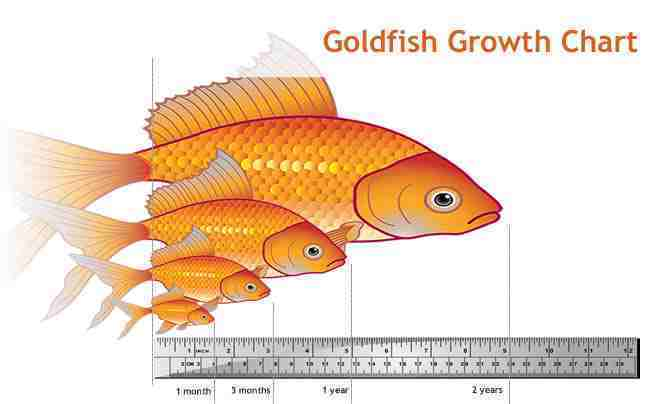Do goldfish really only grow to the size of their tank for Can tropical fish live with goldfish