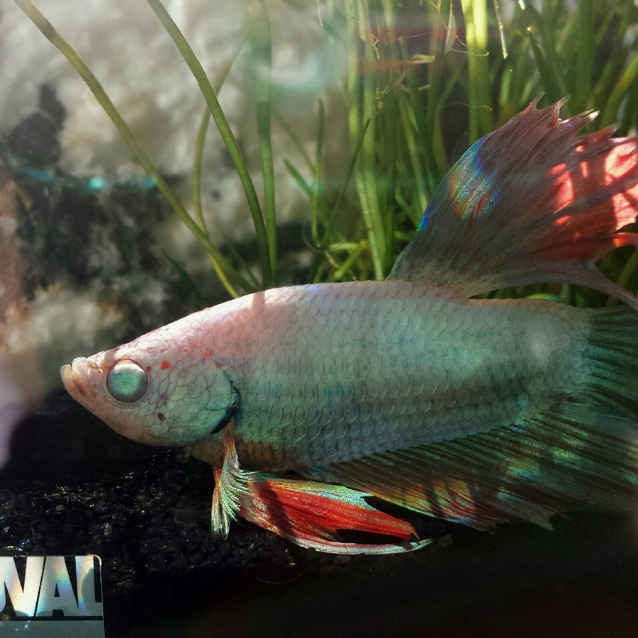 Micah The Miracle Fish | My Aquarium Club
