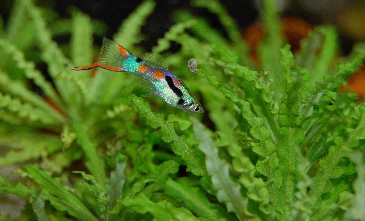 Gallery of Guppies | Freshwater fish | Saigon Aquarium | 775x1280