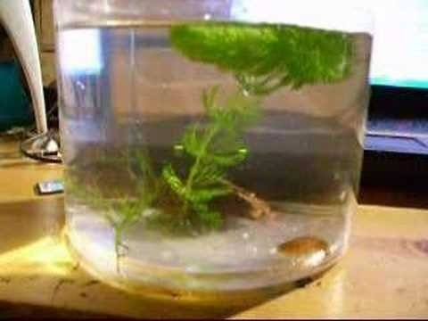 how to clean triops tank