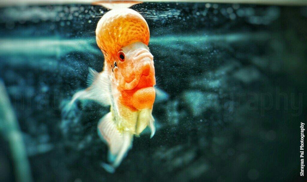 How To Grow A Show Quality Flowerhorn Cichlid | My Aquarium Club