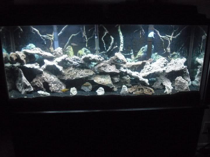Fish Profiles African Cichlids My Aquarium Club