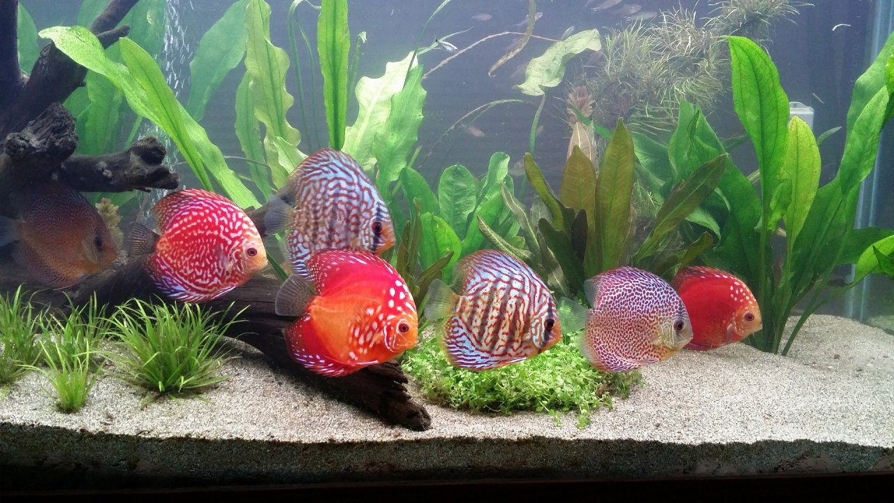 How to protect your discus fish with the proper water for Racine pour aquarium