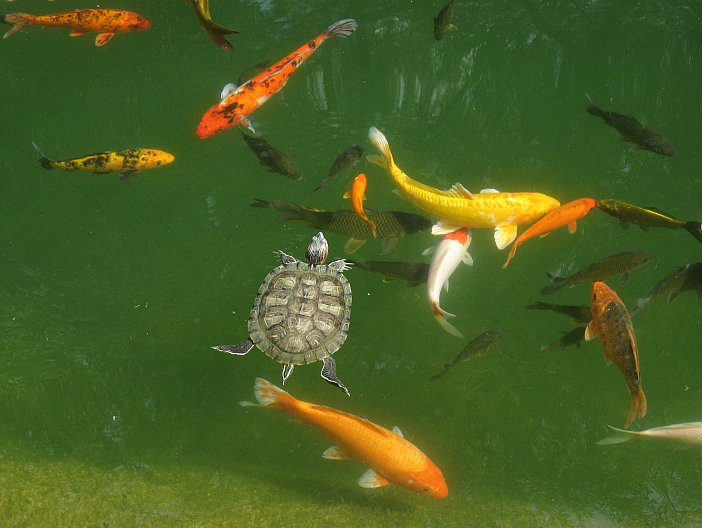 A visual perspective on goldfish size my aquarium club for What fish can live with goldfish in a pond