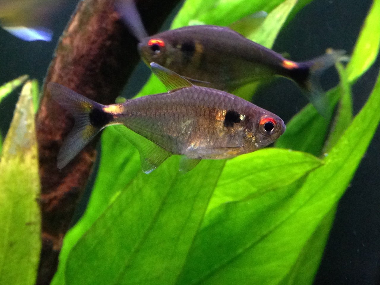 Species Profile: Head And Tail Light Tetra (Hemigrammus Ocellifer ...