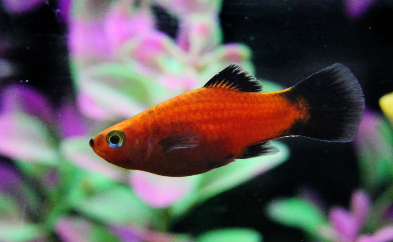 Platy Fish Origins, Description And Care | My Aquarium Club