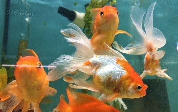 Top 10 Fish With Biggest Personalities My Aquarium Club