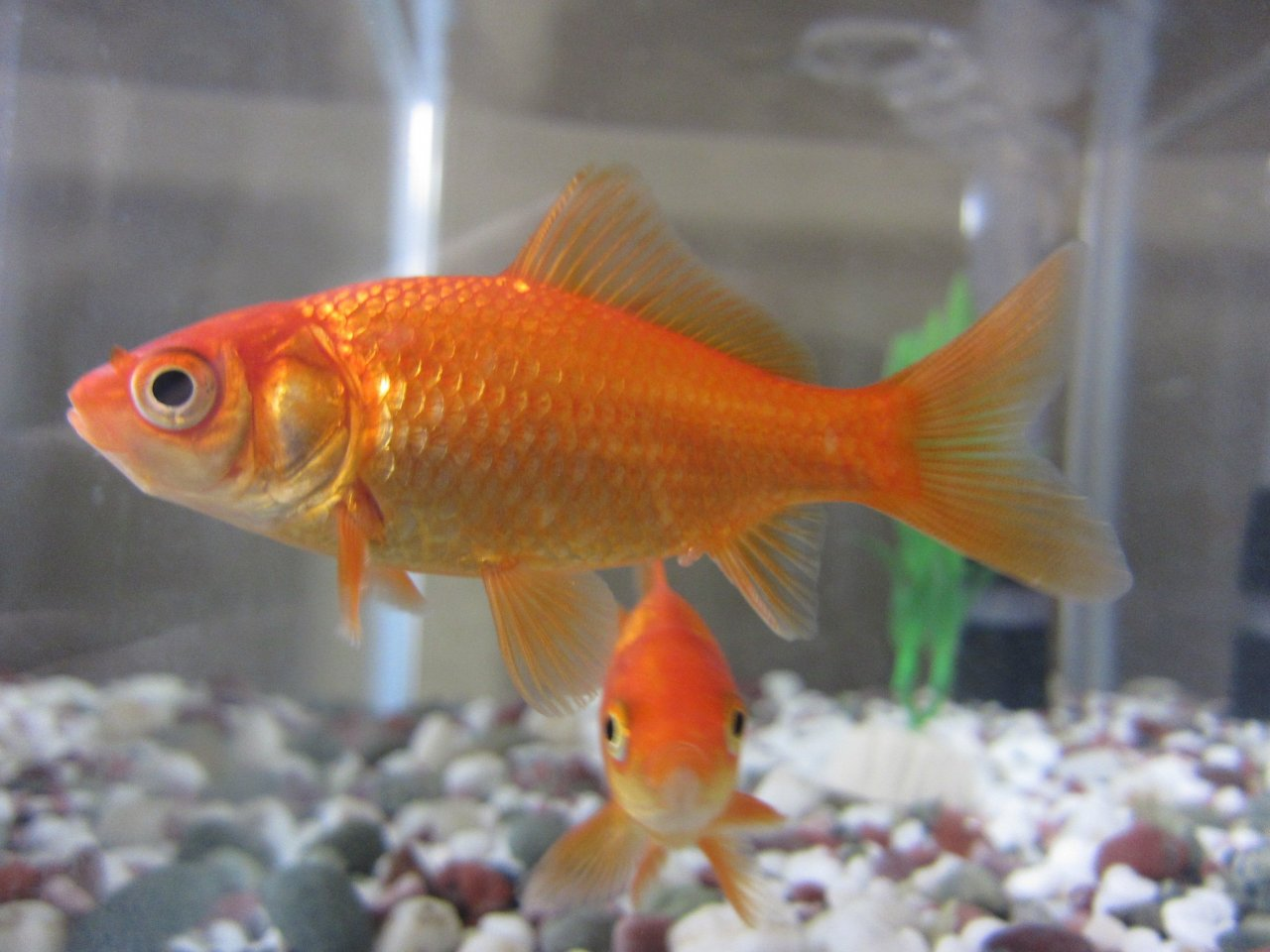 Types Of Goldfish - The Goldie Identification Guide | My