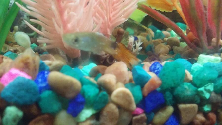 Does My Guppy Have Ich?! | My Aquarium Club