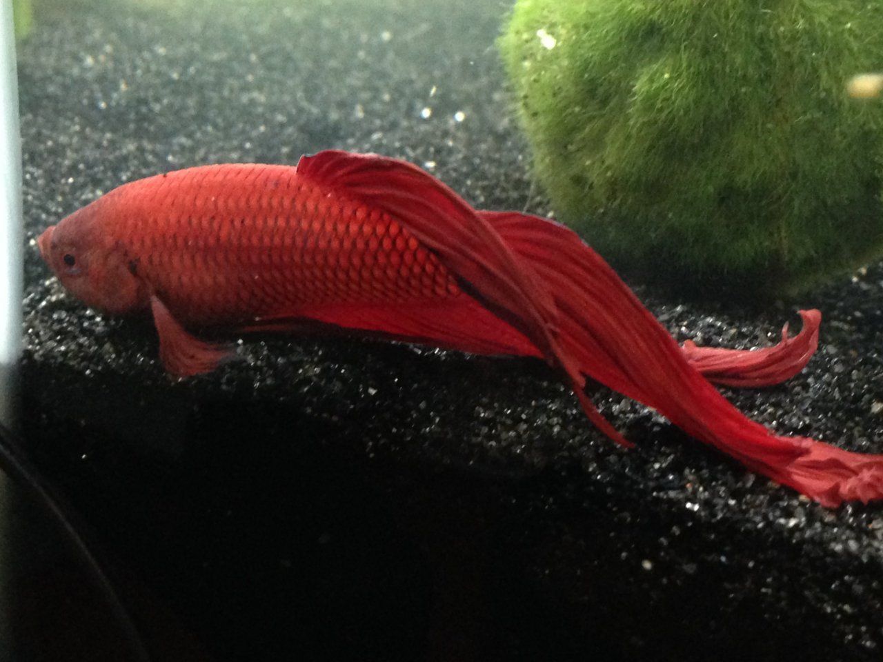 I Have A Betta Who I Treated For Parasites. He Had Stopped Eating ...